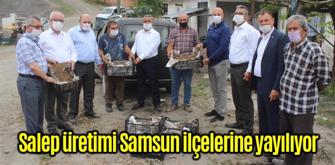 Salep üretimi Samsun ilçelerine yayılıyor
